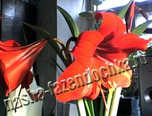 гиппеаструм - очень декоративный комнатный цветок