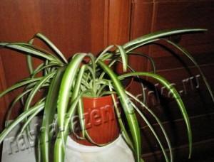 Хлорофитум – неприхотливое комнатное растение