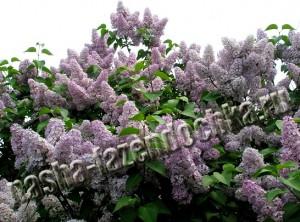 сирень - неприхотливый декоративный красиво цветущий кустарник