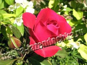 розы, подкормки, удобрения