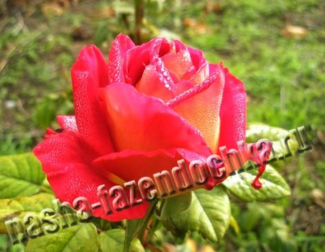 весенняя обрезка розы