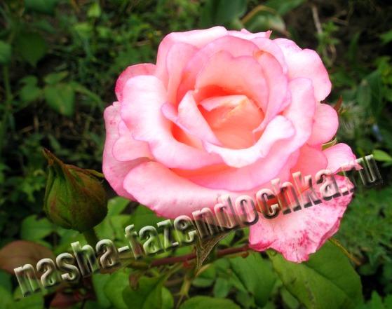 Размножение и выращивание корнесобственной розы