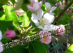 Мучнистая роса яблони и айвы