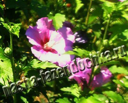гибискус сирийский садовый - выращивание и уход