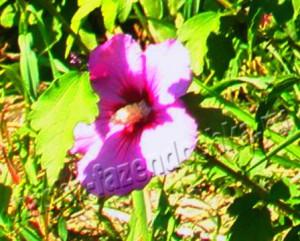 Гибискус – болезни, ошибки ухода и вредители