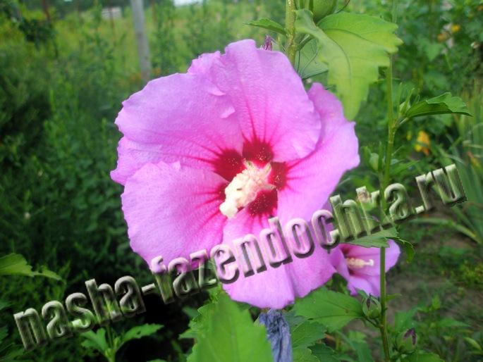 гибискус - пересадка, размножение семенами и черенками