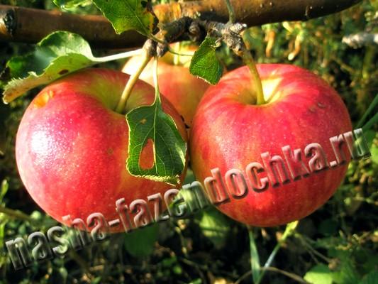 Выбираем сорта яблони для закладки сада