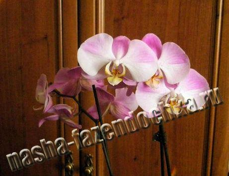 Фаленопсис (орхидея) – выращивание и уход