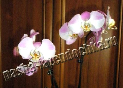 Фаленопсис (орхидея) – пересадка и размножение