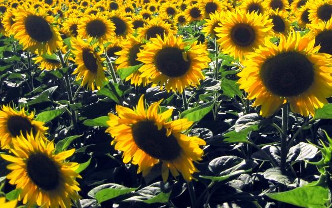 Подсолнечник – выращивание и уход, выбор места для посадки, посев, полив