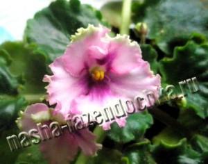 фиалка, лунный календарь огородника и садовода на 15-28 февраля 2013г