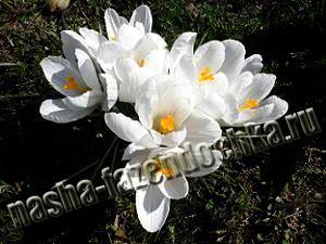 цветы, крокусы, весенние работы