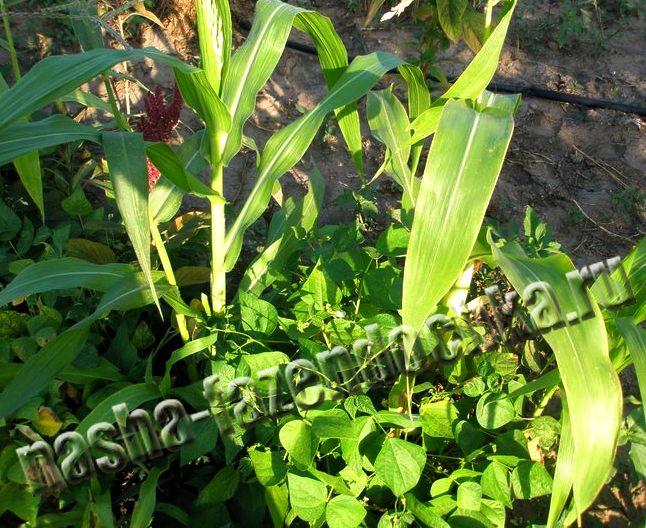Совместимость растений – овощи «друзья» и «враги»