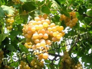 Виноград, Посевной Лунный календарь – выбираем благоприятные дни