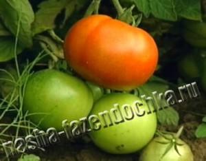 Томаты (помидоры) – выращиваем рассаду