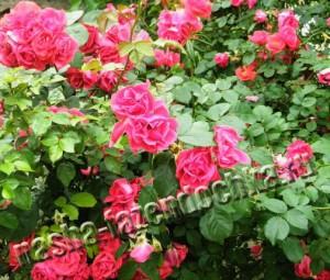 Плетистые розы - можно высаживать возле дома, беседки или перголы.