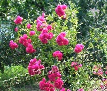 Плетистые розы – особенности посадки привитых саженцев
