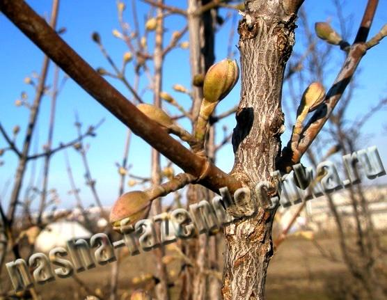 Лунный календарь огородника и садовода на апрель 2013г, кизил