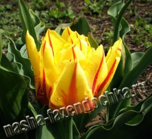 Раннецветущие луковичные растения – уход весной, тюльпан