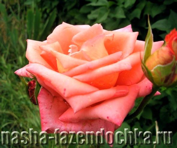 Компост - быстрый способ приготовления, роза