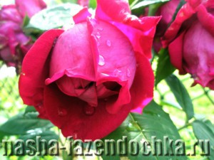 Вьющиеся растения в саду, розы