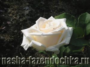 Roza, роза, цветок