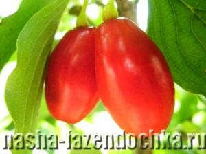 Кизил – декоративное растение с полезными плодами