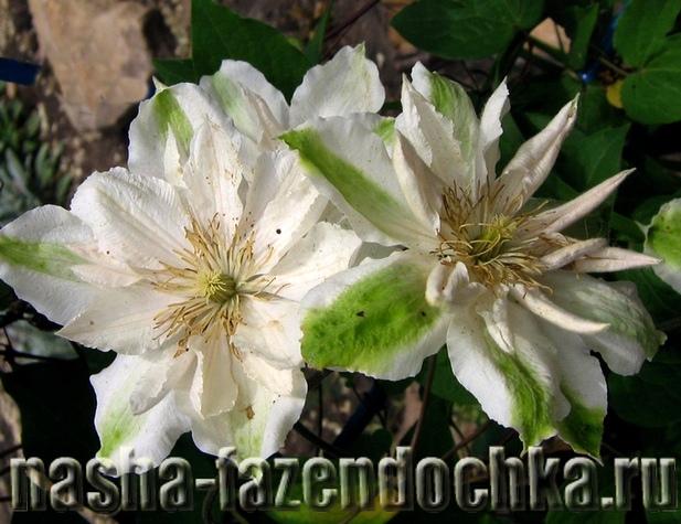 Клематисы – размножение черенками, отводками и делением куста