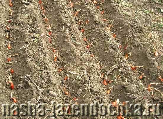 Лук-севок - посадка весной