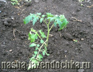 Рассада томатов (помидоров) – высаживаем в открытый грунт