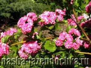 Боярышник - декоративный, неприхотливый и лечебный. Растение зимостойкое, нетребовательно к почве, засухоустойчиво, можно использовать для живой изгороди