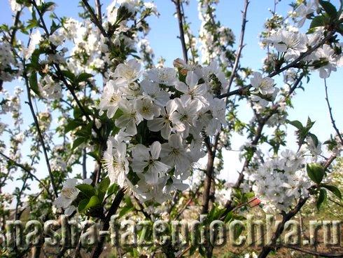 сад, цветут деревья