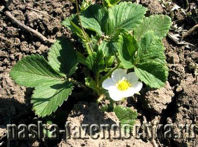 Древесная зола — натуральное удобрение, хорошо применять под клубнику