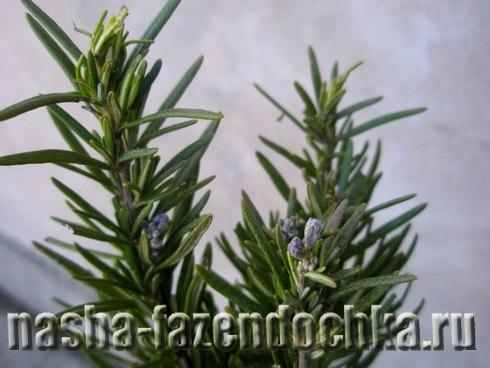Розмарин - выращивание и уход