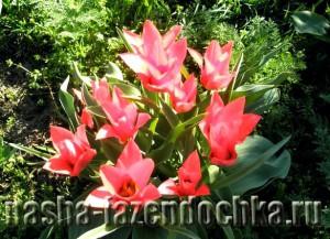 Луковичные цветы в каменистом саду, тюльпаны