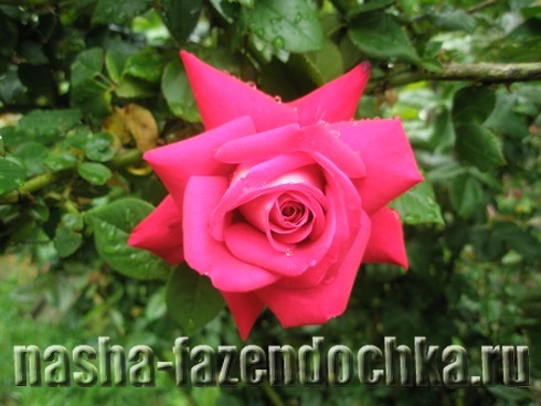 Лунный календарь огородника и садовода на июнь 2013г, роза