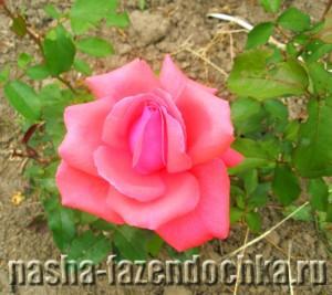 роза, Лунный календарь огородника и садовода на июль 2013г