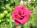 Доставка цветов по всему миру, роза