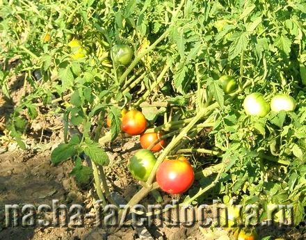 Уход за помидорами в открытом грунте