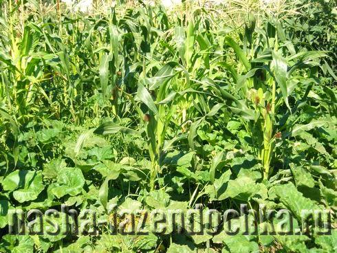 Кукуруза: посадка и уход