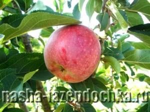 Лунный календарь, яблоко