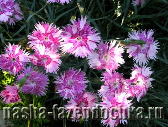 Создаем клумбу непрерывного цветения, гвоздики