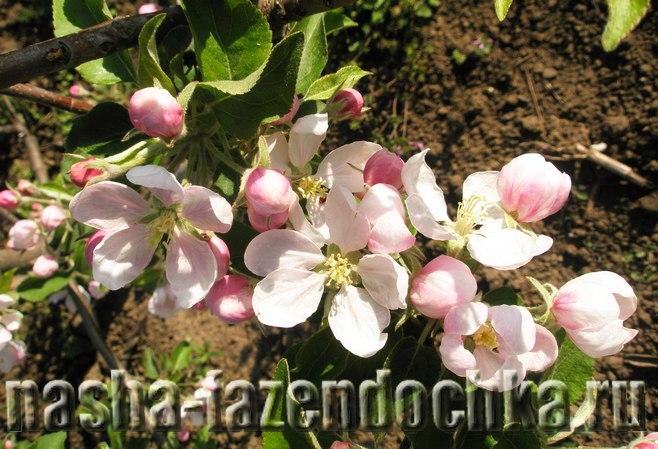 Обработка почвы в приствольных кругах плодовых деревьев