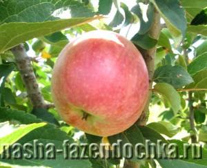 яблоко, Как сохранить приобретенные осенью саженцы деревьев до весны