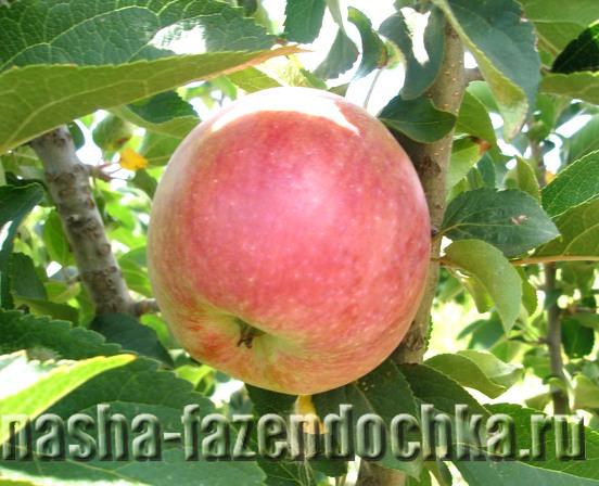 яблоко, Как сохранить купленные осенью саженцы деревьев до весны