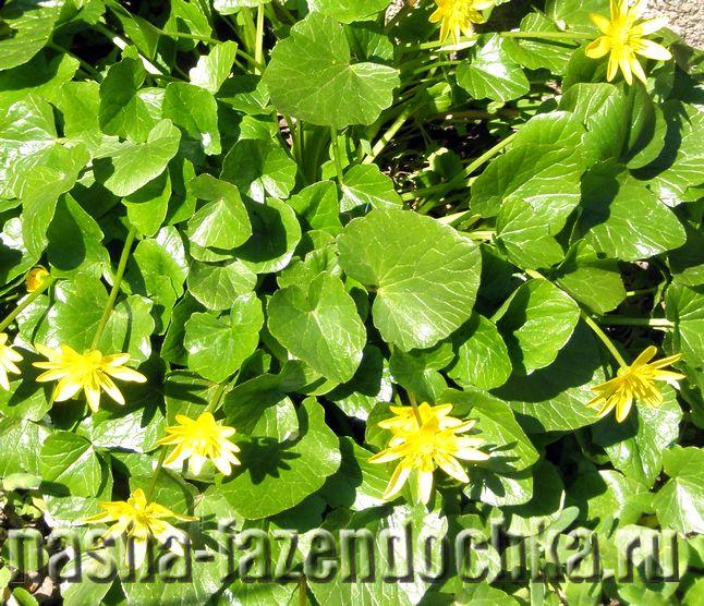 Растения для влажных мест, калужница