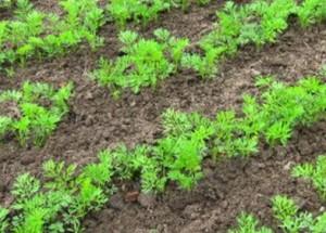 Подзимние и зимние посевы овощных культур