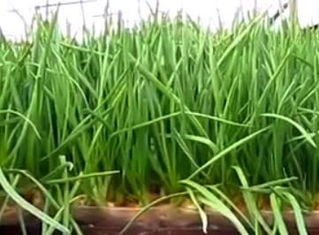лук, Выбираем место в комнате для выращивания овощных растений