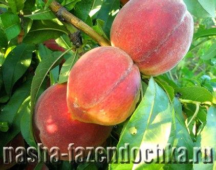 Плодовые деревья для южных регионов, персик