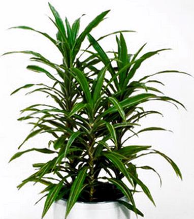 Драцена деремская: выращивание и уход